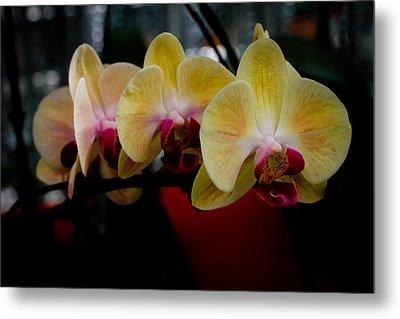 Phalaenopsis Yellow Orchid Metal Print
