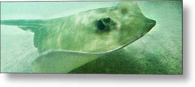 Phantom - Manta Ray Art By Sharon Cummings Metal Print by Sharon Cummings