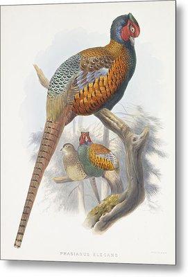 Phasianus Elegans Elegant Pheasant Metal Print