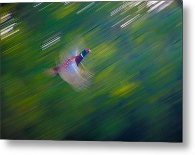 Pheasant Flight Metal Print