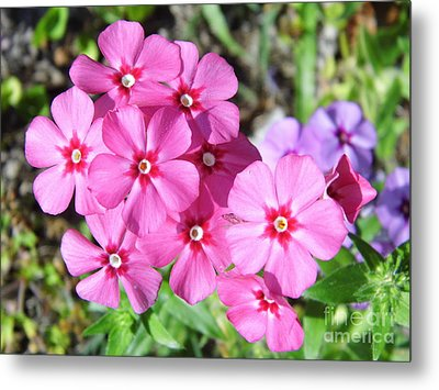 Metal Print featuring the photograph Phlox Beside The Road by D Hackett