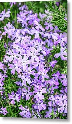 Phlox Subulata 'blue Eyes' Flowers Metal Print
