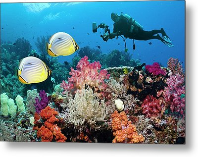 Photographing Butterflyfish On A Reef Metal Print by Georgette Douwma