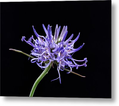 Phyteuma Balbisii Metal Print by Paul Gulliver