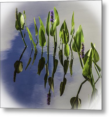 Pickerel Weed Vignetted In White Metal Print by Karen Stephenson