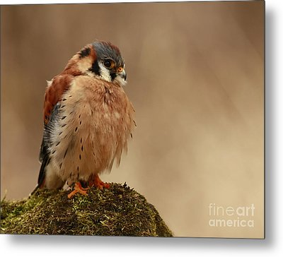 Picture Perfect American Kestrel  Metal Print by Inspired Nature Photography Fine Art Photography