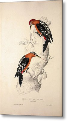 Picus Hyperythrus, Rufous-bellied Woodpecker. Birds Metal Print by Quint Lox