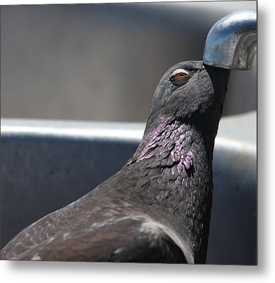 Pigeon In Ecstasy  Metal Print by Nathan Rupert
