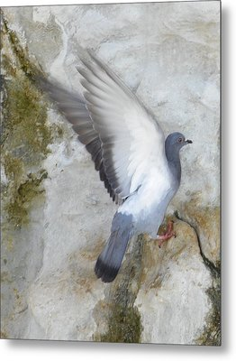 Pigeon Spreading Wings For Takeoff Metal Print by Noreen HaCohen