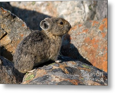 Metal Print featuring the photograph Pika And Lichen by Chris Scroggins