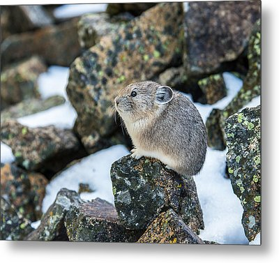Pika In The Park Metal Print by Yeates Photography