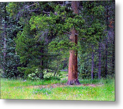 Pine At Rocky Mountain National Metal Print