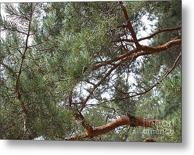 Pine Branches Metal Print by Evgeny Pisarev