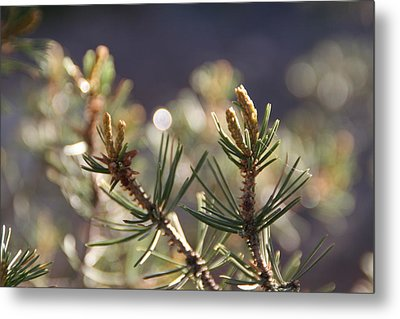 Metal Print featuring the photograph Pine by David S Reynolds