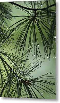 Pine Droplets Metal Print by Judy  Johnson