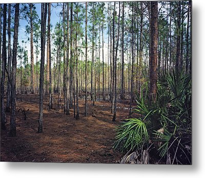 Pine Forest II. Split Oak. Metal Print by Chris  Kusik
