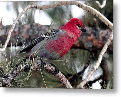 Pine Grosbeak On Ponderosa Pine Tree Metal Print