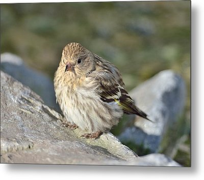 Metal Print featuring the photograph Pine Siskin by Kathy King