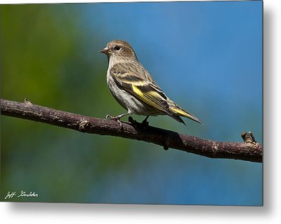 Pine Siskin Perched On A Branch Metal Print by Jeff Goulden