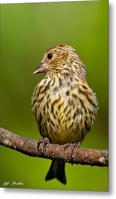 Pine Siskin With Yellow Coloration Metal Print