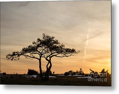 Pine Tree Portrait Metal Print