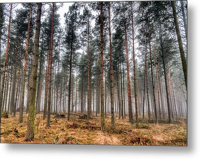 Pine Trees In Morning Fog Metal Print by EXparte SE