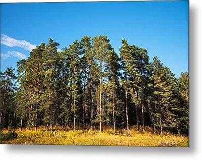 Pine Trees Of Valaam Island Metal Print by Jenny Rainbow