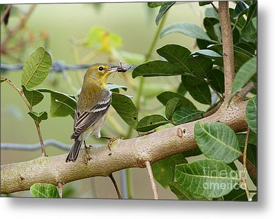 Pine Warbler With Lunch Metal Print by Jennifer Zelik