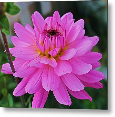 Pink And Beautiful Metal Print by Victoria Sheldon