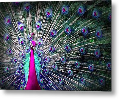 Pink And Blues Peacock Metal Print by Diana Shively