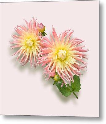 Pink And Cream Cactus Dahlia Metal Print by Jane McIlroy