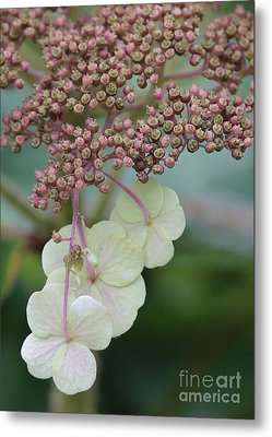 Pink And Green Hydrangea Closeup Metal Print by Carol Groenen