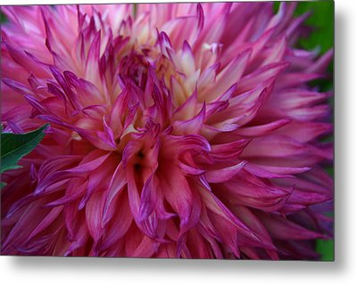 Metal Print featuring the photograph Pink And White Dahlia  by Denyse Duhaime