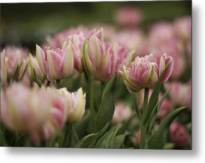Pink And White Tulip Metal Print by Lesley Rigg