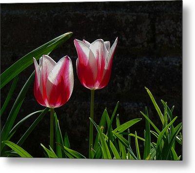Pink And White Tulip Metal Print