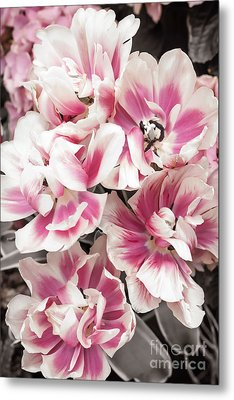 Pink And White Tulips Metal Print by Elena Elisseeva
