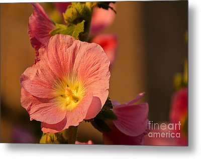 Metal Print featuring the photograph Pink And Yellow Hollyhock by Sue Smith