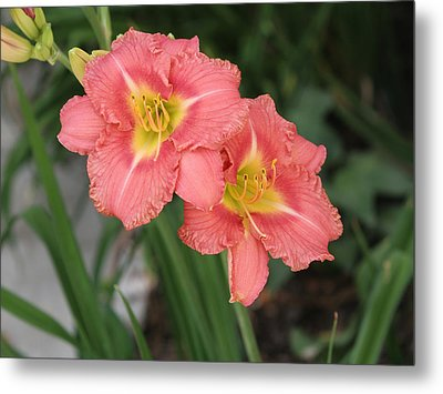 Pink Asiatic Lily Metal Print