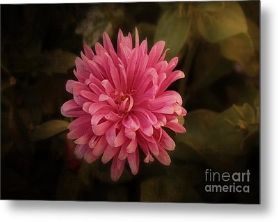 Metal Print featuring the photograph Pink Aster by Marjorie Imbeau