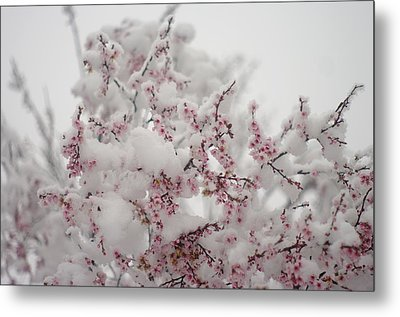 Pink Spring Blossoms In The Snow Metal Print by Suzanne Powers