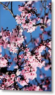 Pink Blossoms On The Tree Metal Print by Irina Sztukowski