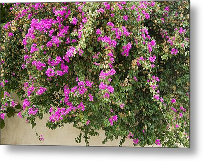 Pink Bougainvillea Growing On Wall Metal Print