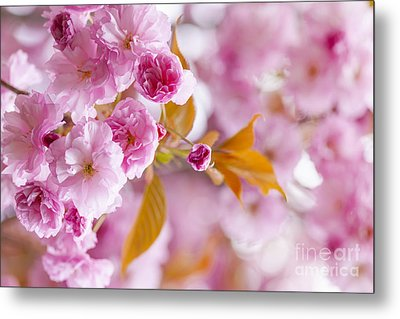 Pink Cherry Blossoms In Spring Orchard Metal Print