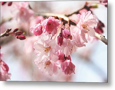 Pink Cherry Blossoms Metal Print by Trina  Ansel