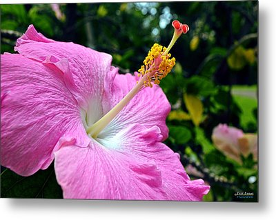 Metal Print featuring the photograph Pink Chinese Hibiscus Flower by Aloha Art