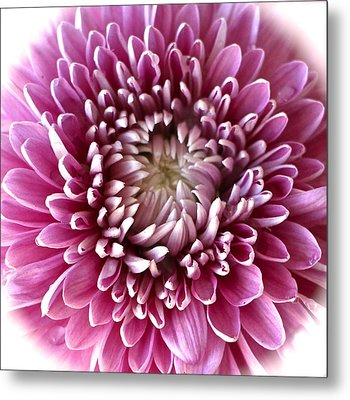 Pink Chrysanthemum Metal Print by Venetia Featherstone-Witty
