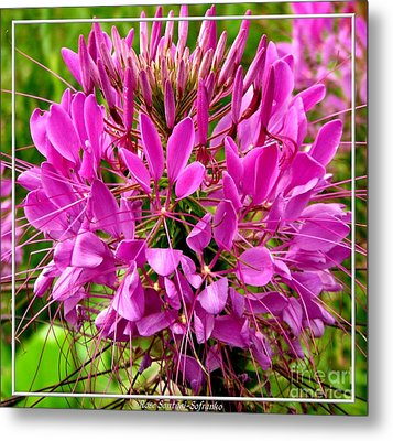 Pink Cleome Flower Metal Print by Rose Santuci-Sofranko