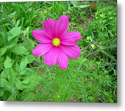Pink Cosmos Metal Print by Aimee L Maher Photography and Art Visit ALMGallerydotcom
