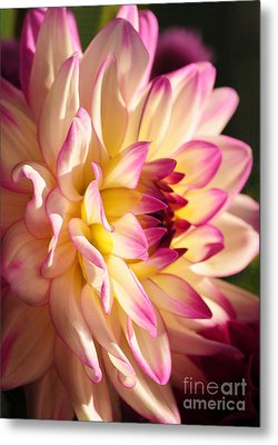 Pink Cream And Yellow Dahlia Metal Print