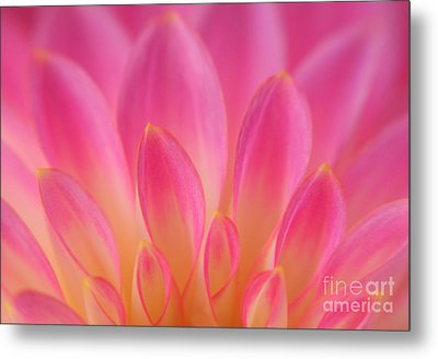 Pink Dahlia Close-up Metal Print